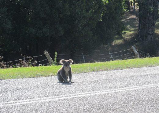 LinnDubh - Koala - Australia