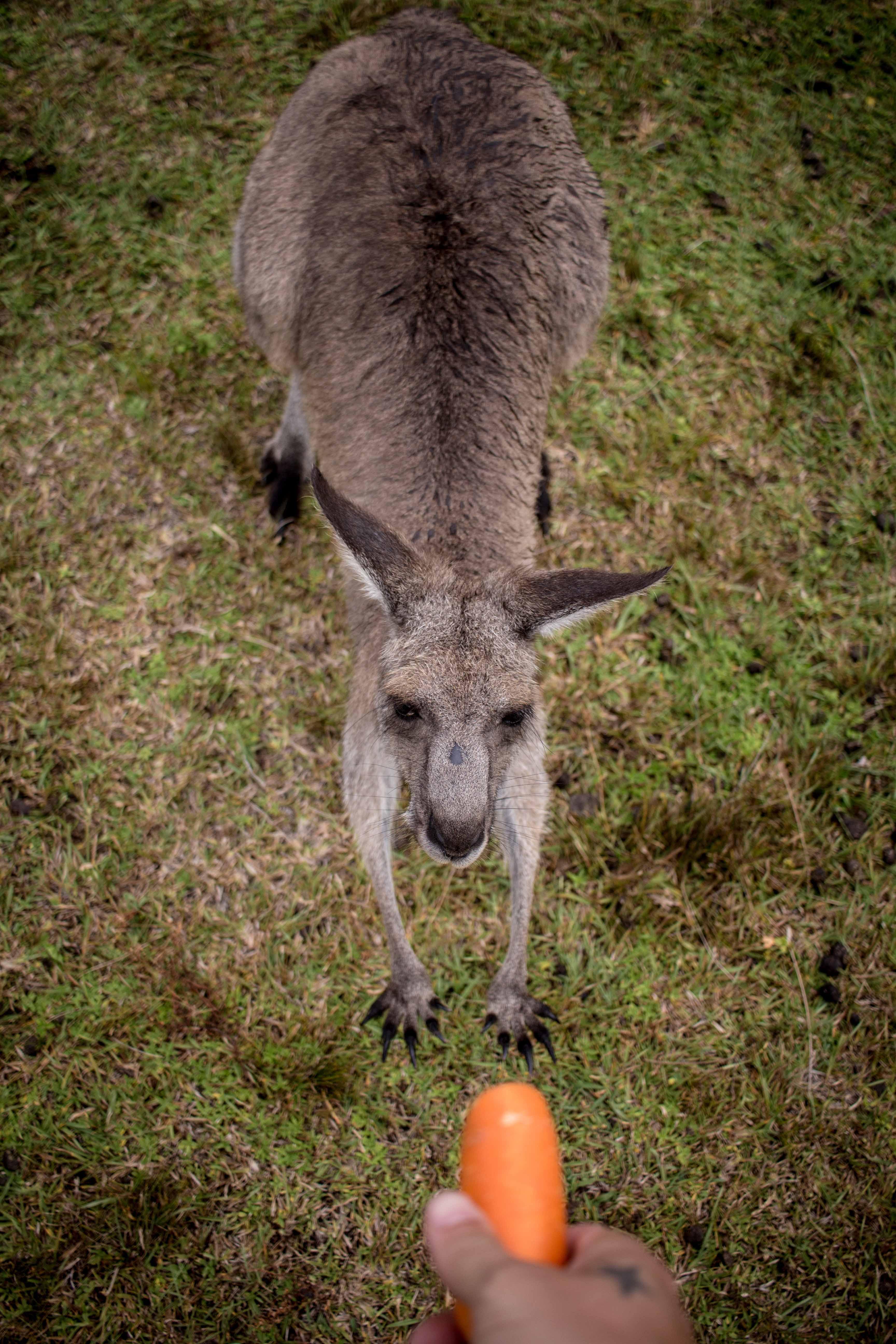 Linn-Dubh Kängurus füttern in Australien Travelguide